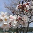 桜始めました